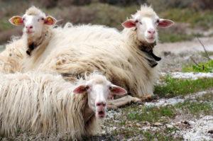 Sarda Sheep